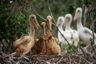 Photo: Severely-oiled pelican chicks (with non-oiled chicks behind them) on Cat island in Barrataria Bay, Louisiana.