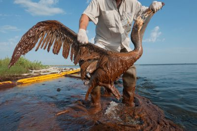 A man holds a brown pelican (Pelecanus occidentalis) covered with oil from the Deepwater Horizon spill, on Queen Bess Island, Louisiana.