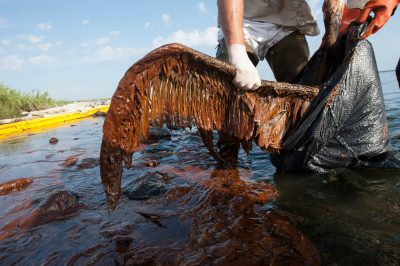 A brown pelican (Pelecanus occidentalis), covered with oil from the Deepwater Horizon spill, on Queen Bess Island in Barataria Bay, Louisiana. The bird was taken to a rehab center.