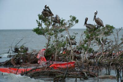 Brown pelicans (Pelecanus occidentalis) and their chicks, covered with oil from the Deepwater Horizon spill, on Cat island in Barataria Bay, Louisiana.