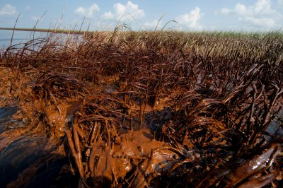 Photo: Crude oil from the Deepwater Horizon spill coats marshes on a barrier island in Barataria Bay, Louisiana.