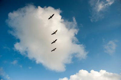 Brown pelicans (Pelecanus occidentalis) soar in the sky above Grand Isle, Louisiana.