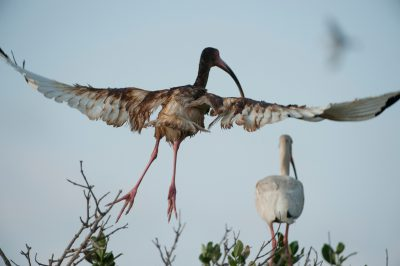 An oiled white ibis (Eudocimus albus) lifts off from a rookery on a barrier island in Barataria Bay, Louisiana.