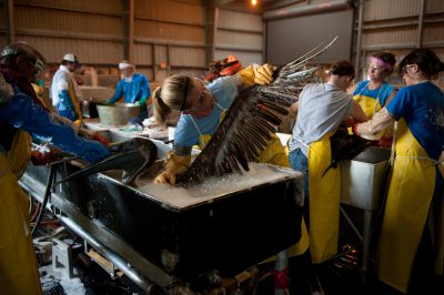 A crew working to clean a brown pelican (Pelecanus occidentalis) at the rehab center in Fort Jackson, Louisiana. This is where the majority of the oiled birds were brought in from the deep water horizon oil spill.