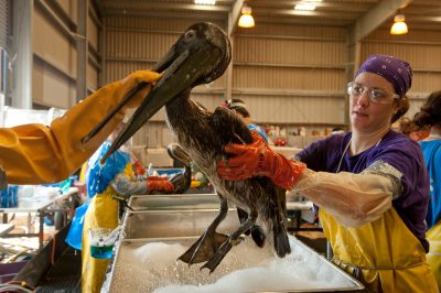 Photo: A crew working to clean a pelican at the rehab center in Fort Jackson, Louisiana.