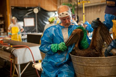 Workers washing an oiled brown pelican (Pelecanus occidentalis) at the rehab center in Fort Jackson, Louisiana. This is where the majority of the oiled birds were brought in from the deep water horizon oil spill.