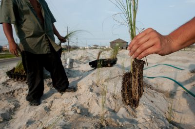 Photo: Workers from Southern Native Plants out of Milton, Florida are planting sea oats (Uniola paniculata) in sand dunes on Dauphin Island, Alabama.