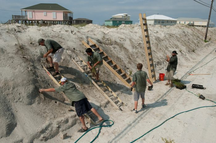 Photo: Workers from Southern Native Plants out of Milton, Florida planting sea oats (Uniola paniculata) on a newly created sand dune to protect Dauphin Island, Alabama from the deep water horizon oil spill.