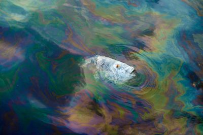 Photo: A dead black drum as it floats through oiled waters near Grand Isle, LA.