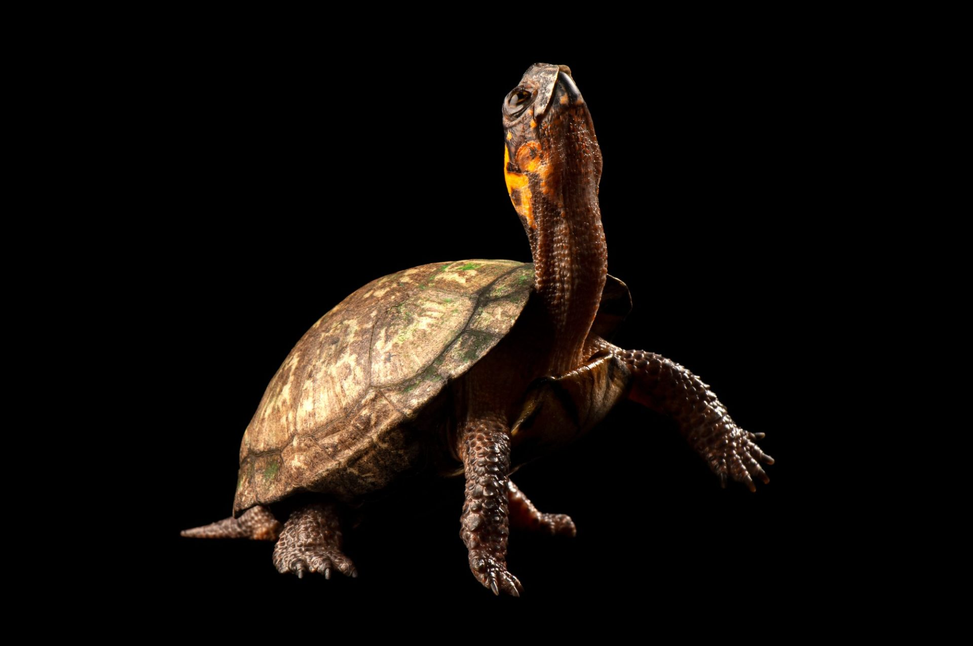 A bog turtle (Glyptemys muhlenbergii) an endangered (IUCN) and federally threatened species at the Atlanta Zoo.