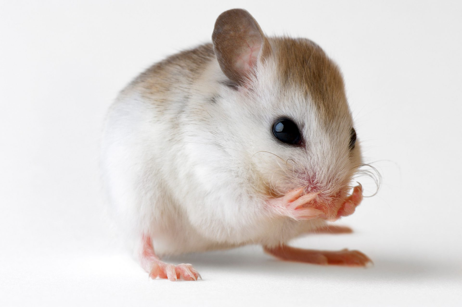A St. Andrew beach mouse (Peromyscus polionotus peninsularis), a federally endangered rodent, in Panama City, FL. This and several other beach mice subspecies are imperiled due to beach development. (US: Endangered)