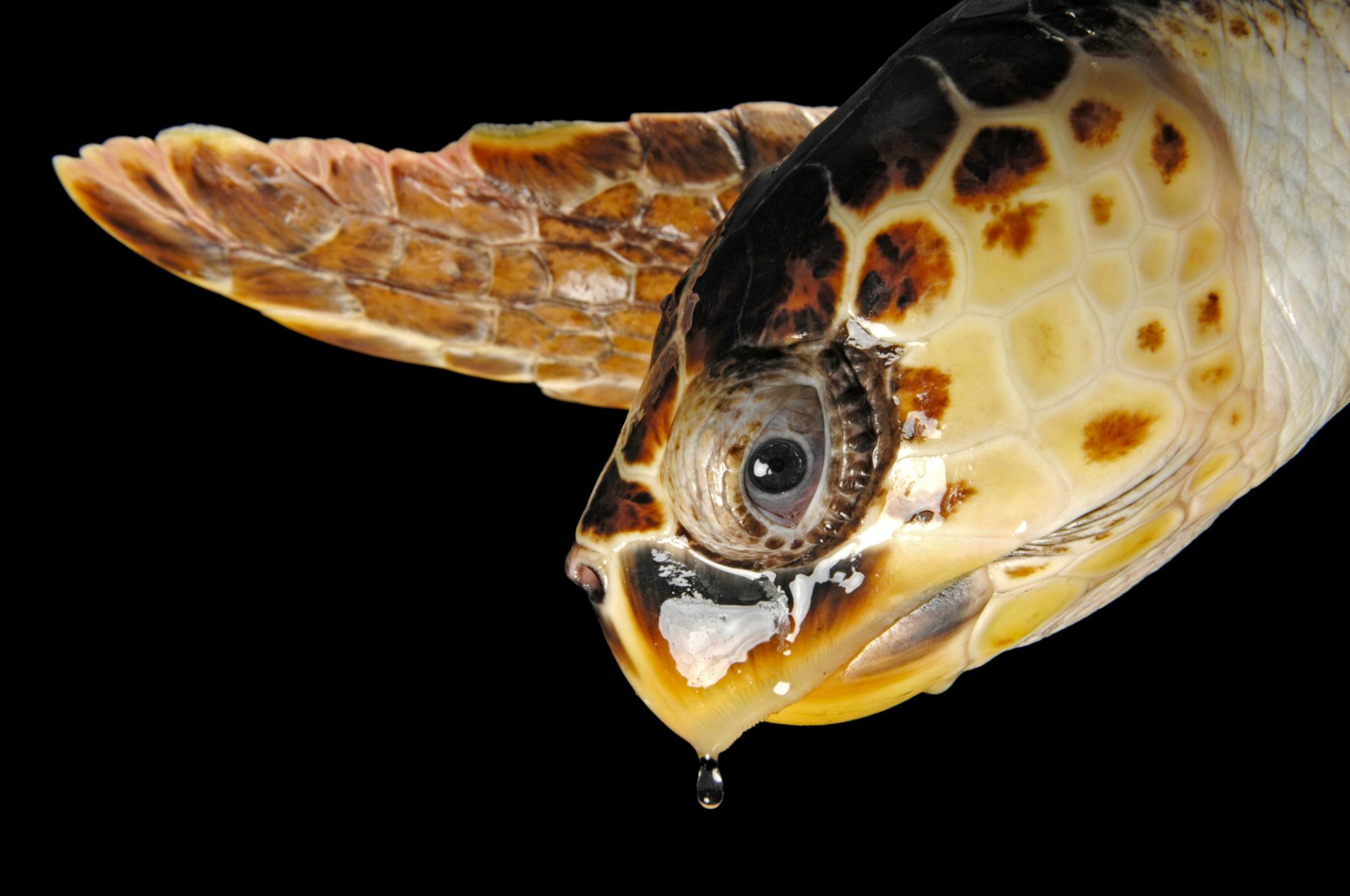 Picture of a vulnerable (IUCN) and federally threatened loggerhead sea turtle (Caretta caretta) at the Riverbanks Zoo, Columbia, South Carolina.
