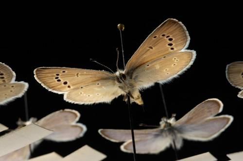 Palos Verdes blue butterflies (Glaucopsyche lygdamus palosverdesensis) at the McGuire Center, Gainesville, Florida.