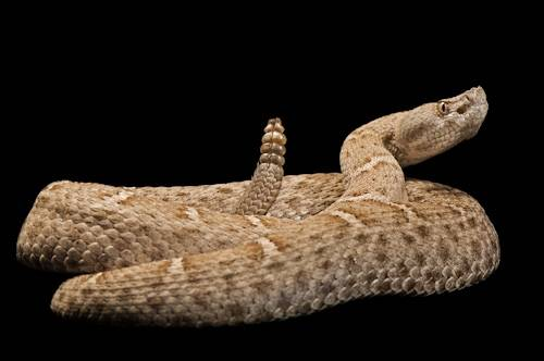 A federally threatened New Mexico ridge-nosed rattlesnake (Crotalus willardi obscurus) at the Arizona Sonora Desert Museum.