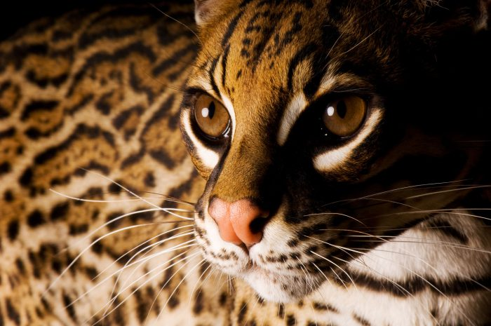 An ocelot (Leopardus pardalis) at the San Diego Zoo, San Diego, California.