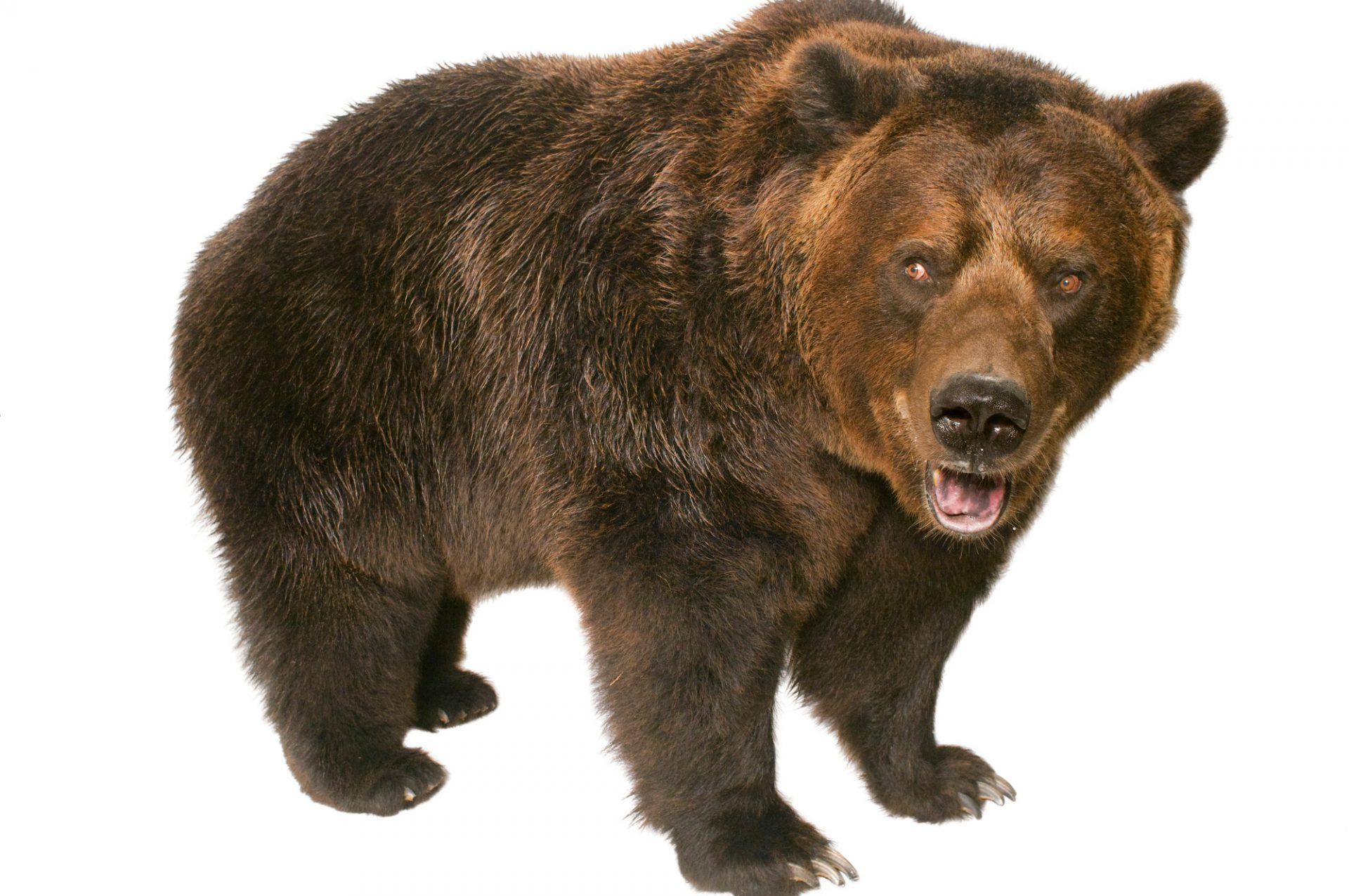 Picture of a grizzly bear (Ursus arctos horribilis) at the Sedgwick County Zoo