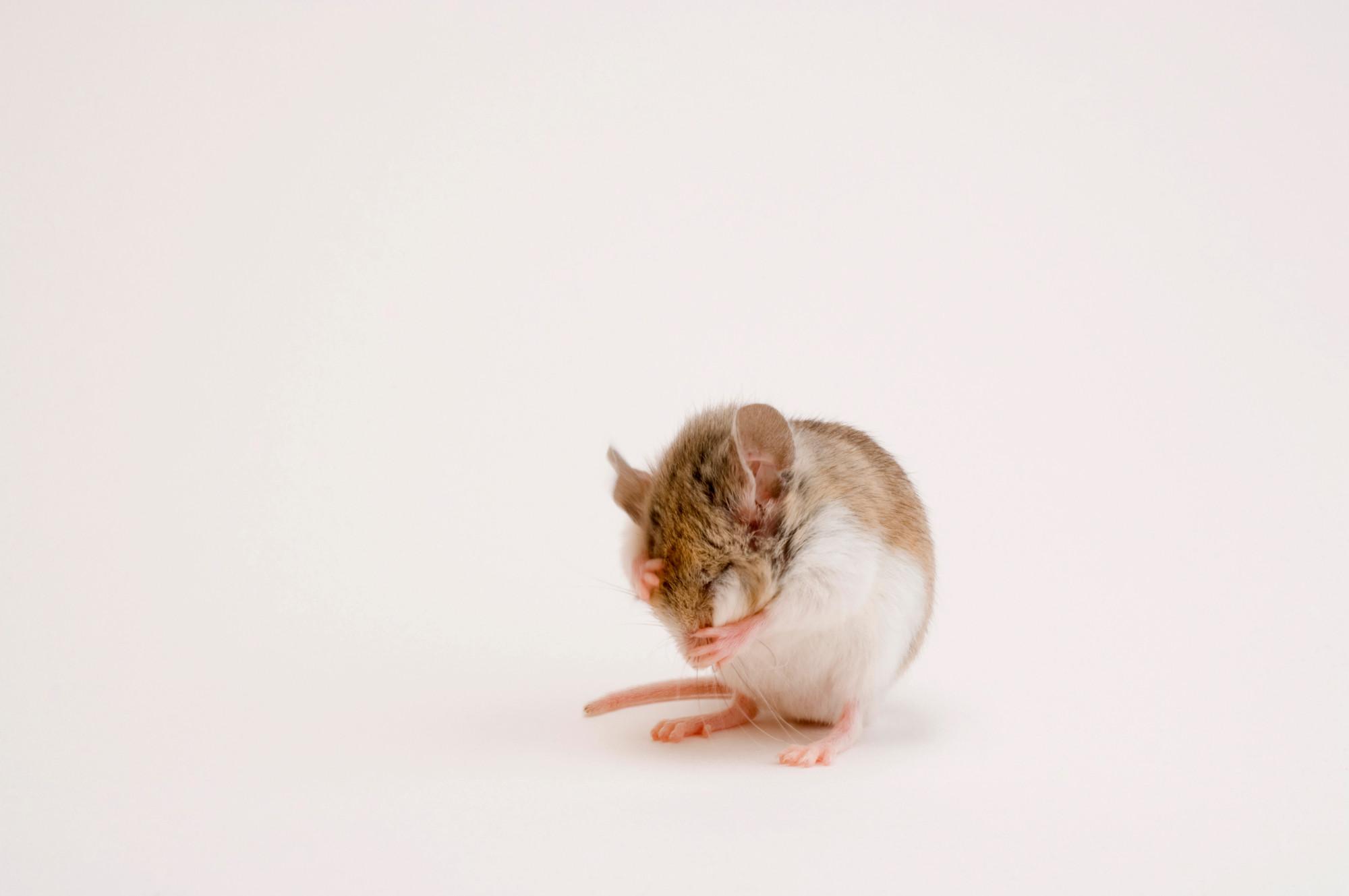 никогда фото грустной мышки воспользуйтесь