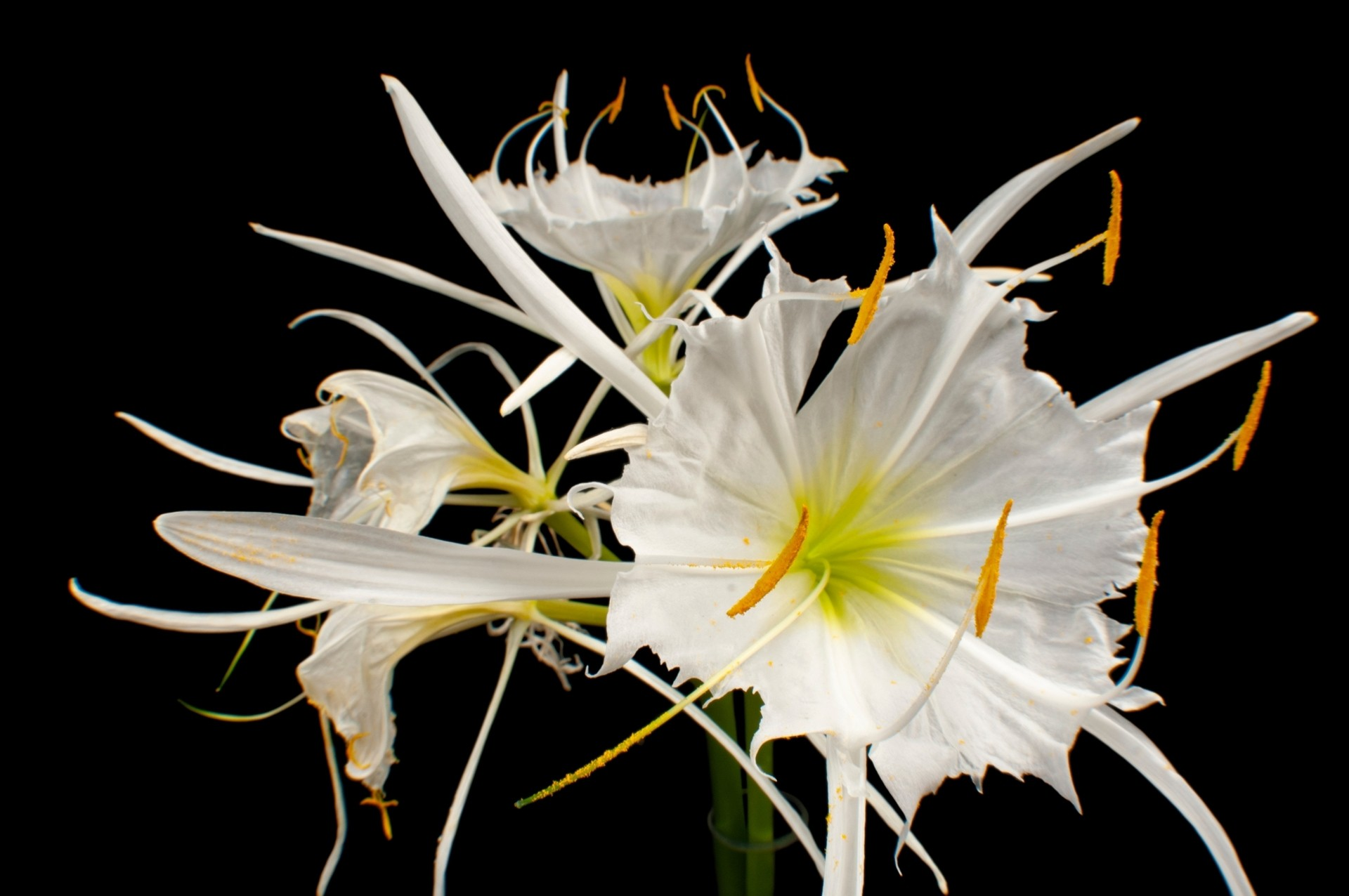 Photo: A rocky shoals spider lily (Hymenocallis coronaria) in Riverbanks Zoo in Columbia, SC.