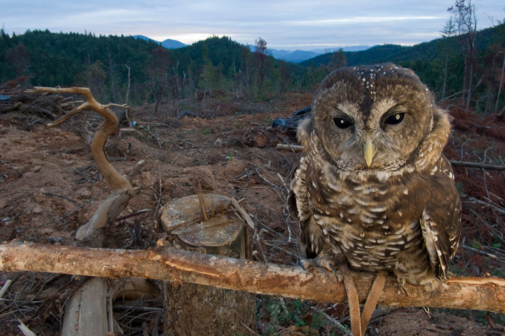 Captive northern spotted owl (Strix occidentalis caurina) in a clearcut near Merlin, Oregon. Habitat loss and climate change are the two primary factors leading to the extinction of species. (US: Threatened)