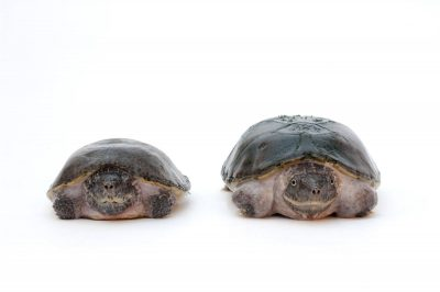 Flattened musk turtles (Sternotherus depressus) (IUCN: Vulnerable, US: Threatened) at the Tennessee Aquarium, Chattanooga, Tennessee.