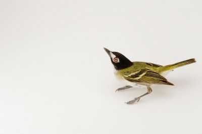 Photo: A black-capped vireo (Vireo atricapilla) (vulnerable species) in Fort Hood, Texas.