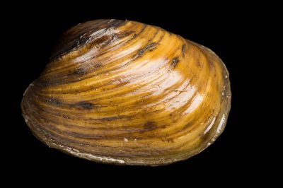 Photo: An endangered Higgins eye pearly mussel (Lampsilis higginsii) at the Genoa National Fish Hatchery, Genoa, Wisconsin.