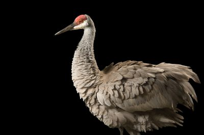 A federally endangered Mississippi sandhill crane (Grus canadensis pulla) at the Audobon Nature Institute, New Orleans, Louisiana.