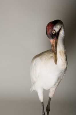 A whooping crane (Grus americana) at the Audubon Nature Institute, New Orleans, Louisiana. (US: Endangered, IUCN: Endangered)
