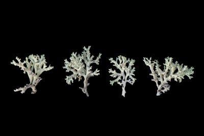 Photo: Endangered Florida perforate cladonia (Cladonia perforata) at the Archbold Biological Station, Venus, Florida.