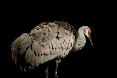 A Mississippi sandhill crane (Grus canadensis pulla) at the Audobon Nature Institute, New Orleans, Louisiana.