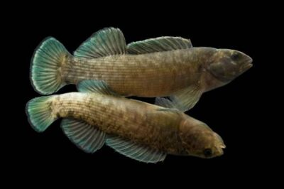 A boulder darter (Etheostoma wapiti) at Conservation Fisheries, Knoxville, Tennessee. (IUCN: Vulnerable, US: Endangered)