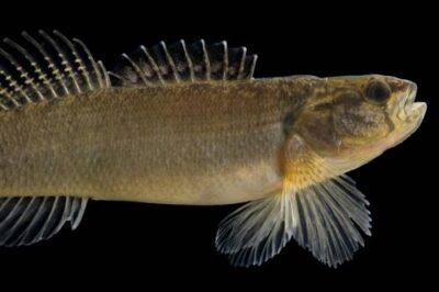 A relict darter (Etheostoma chienense) at Conservation Fisheries, Knoxville, Tennessee. (US: threatened)