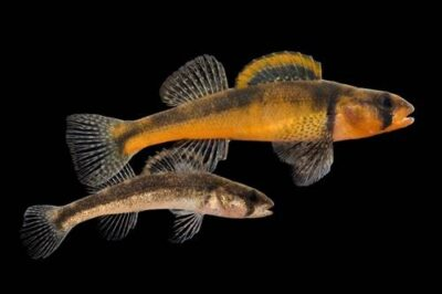 Slackwater darters (Etheostoma boschungi) at the Conservation Fisheries, Knoxville, Tennessee. (IUCN: Endangered, US: Threatened)