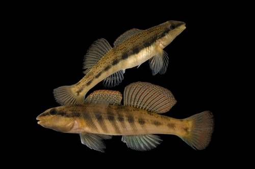 Ashy darters (Etheostoma cinereum) at Conservation Fisheries, Knoxville, Tennessee. (IUCN: Vulnerable)