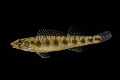 A blotchside logperch (Percina burtoni) at Conservation Fisheries, Knoxville, Tennessee. (IUCN: Vulnerable)