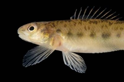 An endangered (IUCN) pearl darter (Percina aurora) at Conservation Fisheries, Knoxville, Tennessee.