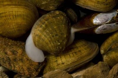 Photo: Endangered mussels from the Clinch River in eastern Tennessee.