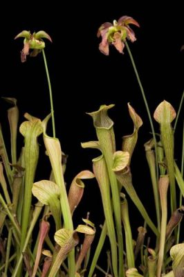 Photo: A Jones pitcher plant or Mountain pitcher plant (Sarracenia rubra ssp. jonesii) at the Atlanta Botanical Garden, Atlanta, Georgia.