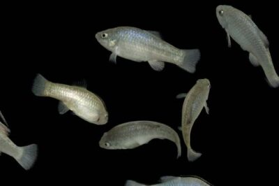 Desert pupfish (Cyprinodon macularius) at the North Carolina Zoo. (US: Endangered)