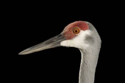 A Mississippi sandhill crane (Grus canadensis pulla) at the Audobon Nature Institute, New Orleans, Louisiana. (US: Endangered)