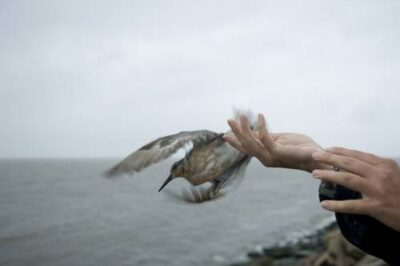 A red knot (Calidris canutus) is released into the wild.