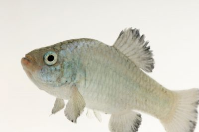 A Quitobaquito pupfish (Cyprinodon macularis eremus) at Organ Pipe National Park, Arizona. (US: Endangered)