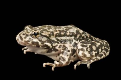 An endangered (IUCN) and federally endangered mountain yellow-legged frog (Rana muscosa). Population locality: San Bernardino.