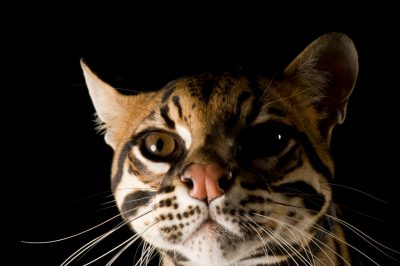 Photo: A three-year-old ocelot (Leopardis pardalis). (Captive)