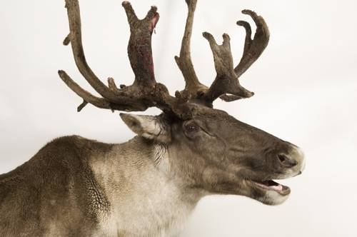 Federally endangered woodland caribou (Rangifer tarandus caribou) named Costello. He is eight years old.