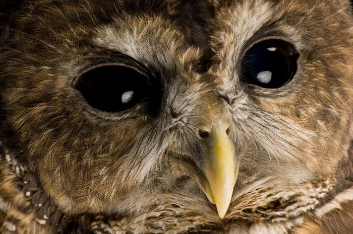 Photo: A northern spotted owl (Strix occidentalis) named Opal at Wildlife Images, a wildlife rehabilitation and education center near Merlin, Oregon.