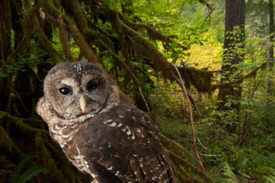 A captive northern spotted owl (Strix occidentalis caurina) in healthy habitat in the Siskiyou National Forest near Merlin, Oregon. (IUCN: Near Threatened; US: Threatened)