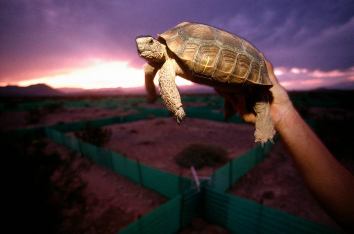 Photo: Fragmentation of fragile habitat has added to the woes of the once-hardy desert tortoise (Gopherus agassizi). They are collected from soon-to-be-developed lands and sent to a center where they are adopted, euthanized (if ill), or used for research.