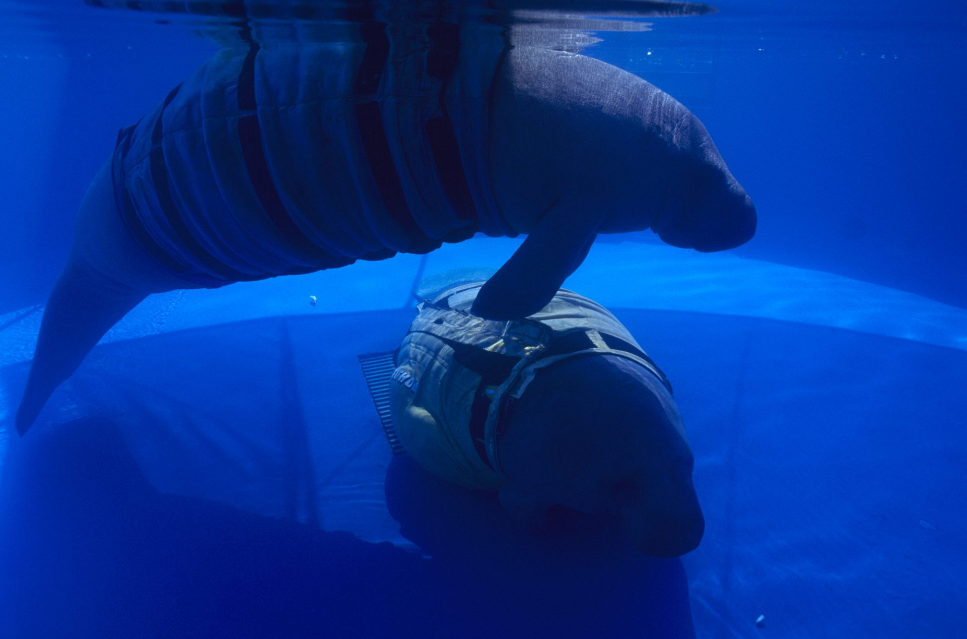 Photo: Hit-and-run victims on Florida's busy waterways, injured manatees maintain vital buoyancy only with the aid of inflatable wet suits at Orlando's Sea World.