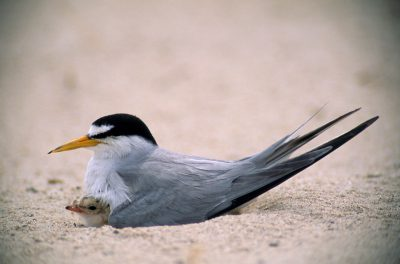 Photo: A prodigy of adaptation, the endangered least tern (Sterna albifrons) survived the test of evolution by nesting on barren sandbars, protected from predators by the swift flow of surrounding rivers.